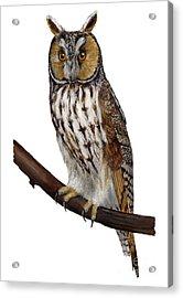 Northern Long-eared Owl Asio Otus - Hibou Moyen-duc - Buho Chico - Hornuggla - Nationalpark Eifel Acrylic Print