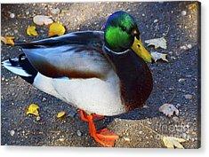 Northern Male Mallard Duck Acrylic Print