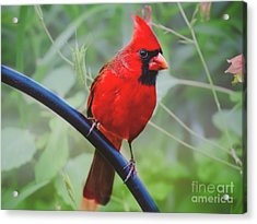 Northern Male Red Cardinal Bird Acrylic Print by Peggy Franz