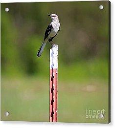 Acrylic Print featuring the photograph Northern Mockingbird Posing  by Ricky L Jones