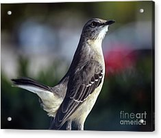 Northern Mockingbird Up Close Acrylic Print