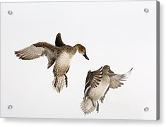 Northern Pintail Anas Acuta Duck Acrylic Print by Wim Weenink