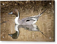 Northern Pintail Drake Acrylic Print