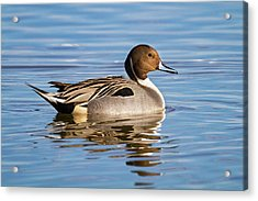 Northern Pintail Duck Acrylic Print