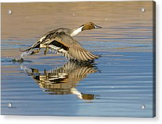 Northern Pintail With Reflection Acrylic Print