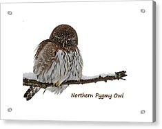 Northern Pygmy Owl 2 Acrylic Print