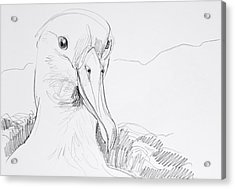 Northern Royal Albatross Acrylic Print