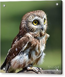 Northern Saw Whet Owl Acrylic Print
