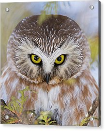 Acrylic Print featuring the photograph Northern Saw-whet Owl Portrait by Mircea Costina Photography