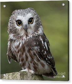 Northern Saw-whet Owl Acrylic Print by Rebecca Miller