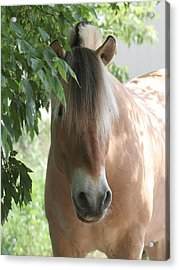 Norwegian Fjord Horse In The Shade Acrylic Print by Laurie With