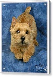 Norwich Terrier Pup Acrylic Print by Maxine Bochnia