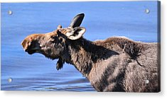 Nose First - Moose Acrylic Print