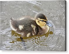 Not So Ugly Duckling Acrylic Print