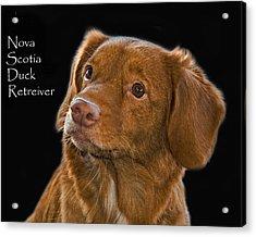 Nova Scotia Duck Retreiver Acrylic Print by Larry Linton