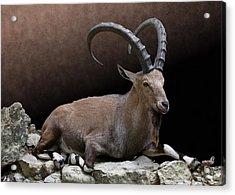 Nubian Ibex Portrait Acrylic Print