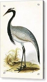 Numidian Crane Acrylic Print by English School