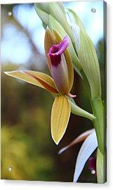 Nun's Cap Orchid - 1 Acrylic Print