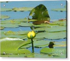 Nuphar Lutea Yellow Pond Acrylic Print