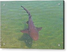 Nurse Shark Acrylic Print