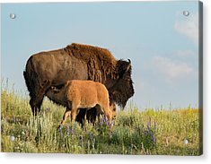 Nursing Bison Family Acrylic Print by Andrew Wells