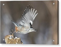 Acrylic Print featuring the photograph Nuthatch In Action by Mircea Costina Photography