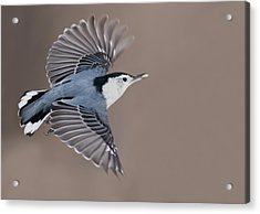 Acrylic Print featuring the photograph Nuthatch In Flight by Mircea Costina Photography