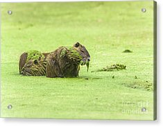 Acrylic Print featuring the photograph Nutria In A Pesto Sauce by Robert Frederick