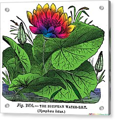 Nymphaea Acrylic Print by Eric Edelman