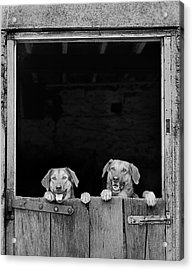 Nz Huntaways, Forever Happy And Nosey. Working Sheep Dogs Acrylic Print