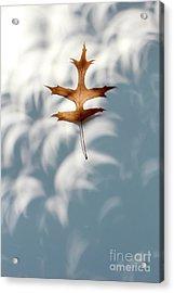 Solar Eclipse Crescents Over Oak Leaf Acrylic Print