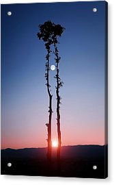 Oak Kissing Acrylic Print by Bess Hamiti