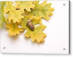 Oak Leaves And Acorns Acrylic Print by Utah Images