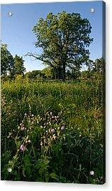 Oak Savanah Acrylic Print