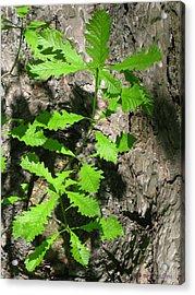 Oak Sprouts Acrylic Print
