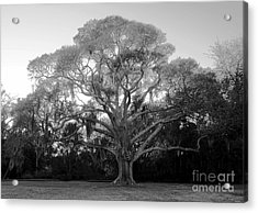 Oak Tree Acrylic Print by David Lee Thompson