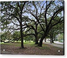 Oaks In Coliseum Park Acrylic Print by Tom Hefko