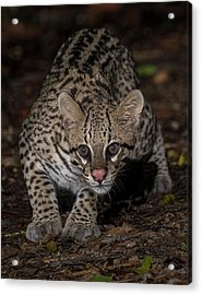 Acrylic Print featuring the photograph Ocelot #1 by Wade Aiken