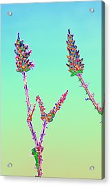 Ocotillo Blossums After Too Much Tequila Acrylic Print by Richard Henne