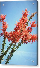 Ocotillo In Bloom Acrylic Print