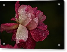 October Rose In The Rain Acrylic Print