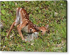 Acrylic Print featuring the photograph Oh Deer Little Fawn by Debbie Stahre