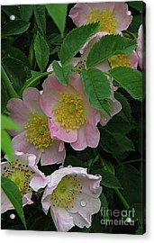 Acrylic Print featuring the photograph Oh The Wild Rose Bush by Deborah Johnson