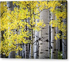 Acrylic Print featuring the photograph Ohio Pass Gold by The Forests Edge Photography - Diane Sandoval