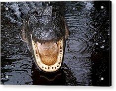 Okefenokee Alligator 1 Acrylic Print