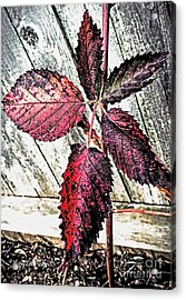 Old And  Faded Acrylic Print by MaryLee Parker
