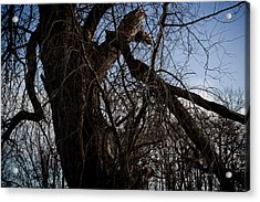 Old And Gnarly Acrylic Print