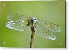 Old Blue Eyes - Blue Dragonfly Acrylic Print by Bill Cannon
