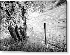 Old Cedar And Barbed Wire Acrylic Print by Dan Jurak
