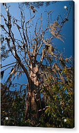 Old Cypress Acrylic Print by Christopher Holmes